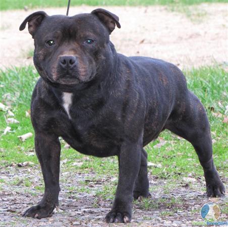 year old female staffordshire bull terrier cross american bulldog
