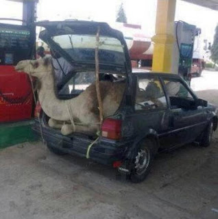 A camel in a Ford Fiesta