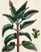 lechenie-adenomi-predstatelnoy-zhelezi-kalanhoe