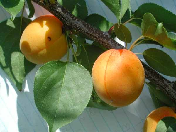 Some Benefits of apricots fruit for Health