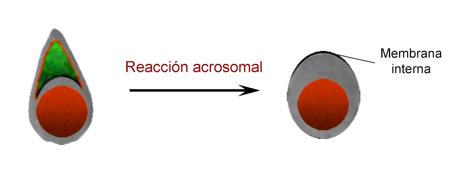 Liberación del acrosoma tras la reacción acrosomal