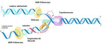 Auto-duplicación del ADN