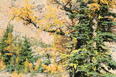 Gold Larches Near Ingalls Pass