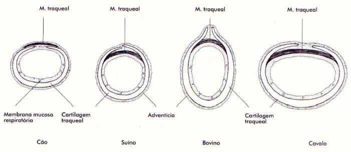 anatomia veterin u00e1ria ii