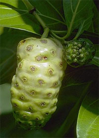 Noni fruit contains chemicals that are commonly referred to as the phytochemical