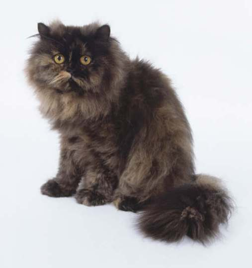 Kot Dymny together with Cute Cat Pictures moreover 31 Most Beautiful Persian Cat Pictures And Photos furthermore Persian Cat Wallpapers additionally Dsc 0016. on persian himalayan