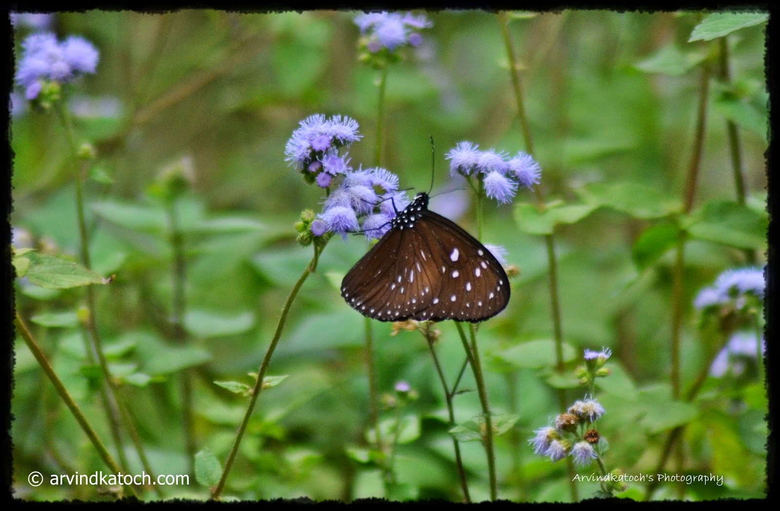 Butterfly, White Dots, Blue Flowers, nectar,