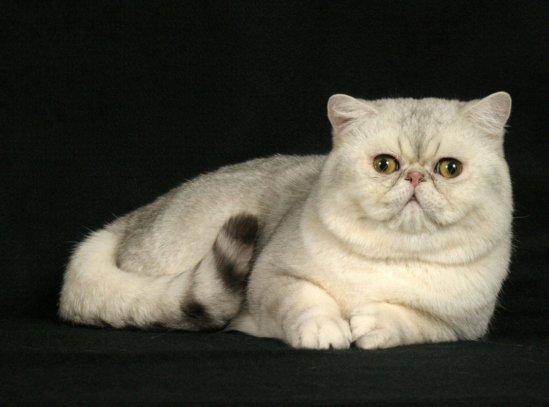 Exotic Shorthair Cats Fun Animals Wiki Videos Pictures