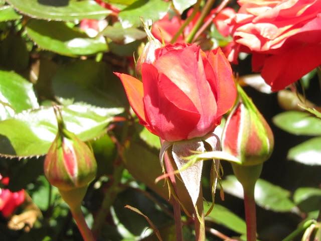 kind-edward-park-rose-nz