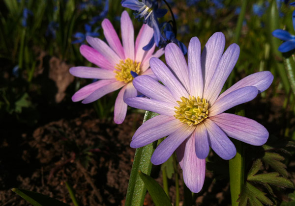 Blommande balkansippor