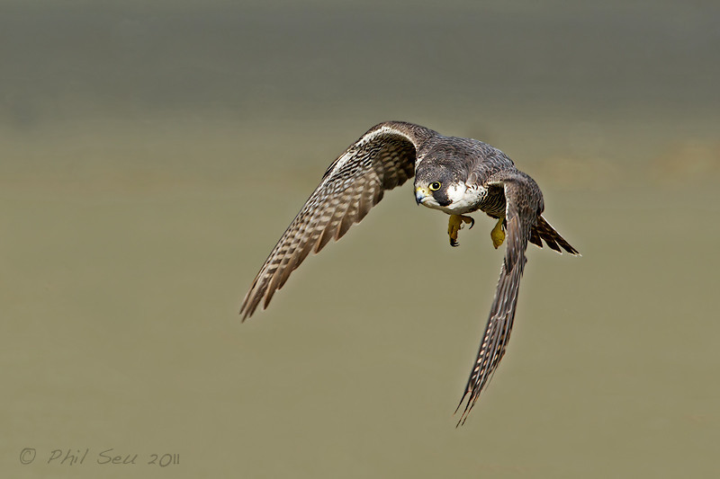 entertainment club: Funny peregrine falcon flying