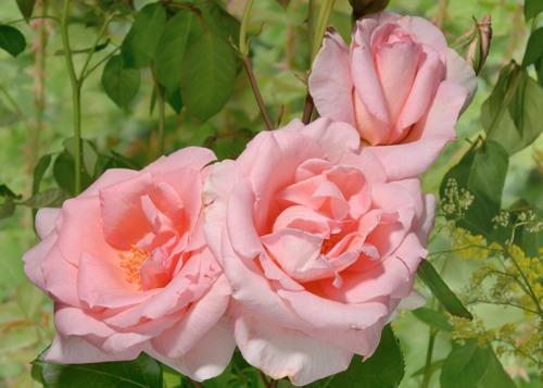 Aphrodite rose сорт розы фото