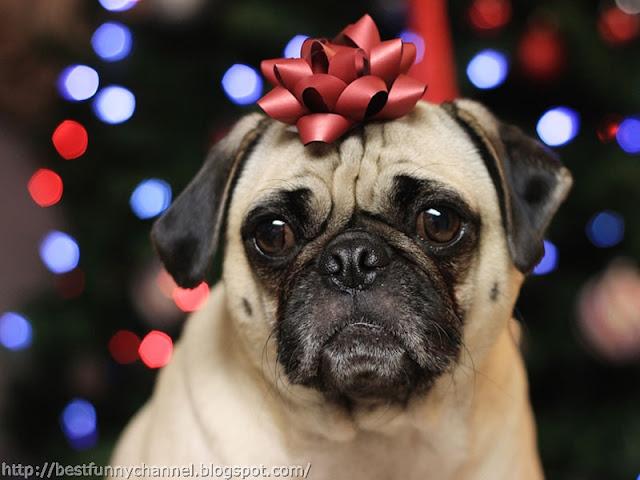 Funny Christmas pug.