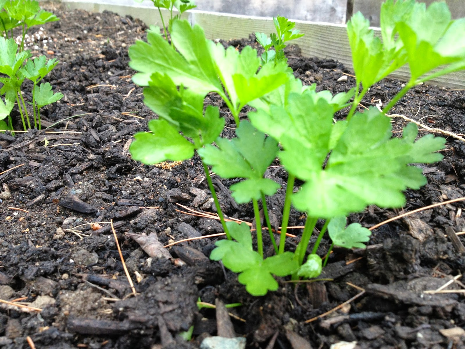 Celery and parsley results - Tips planting herbs lovage parsley dill ...
