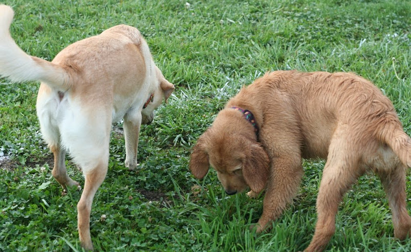 cabana and golden puppy lulu sniffing the grass together