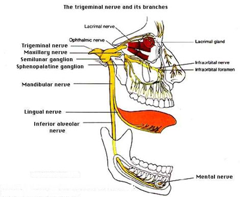 Nerve Supply of the Jaws and Teeth