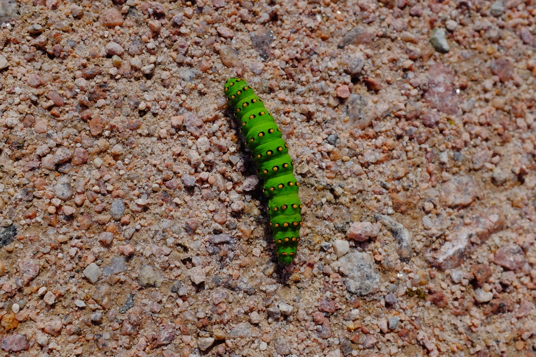 Caterpillar - © 2015 Graeme Walker - Garden Photography, Plants, Geology, Creatures