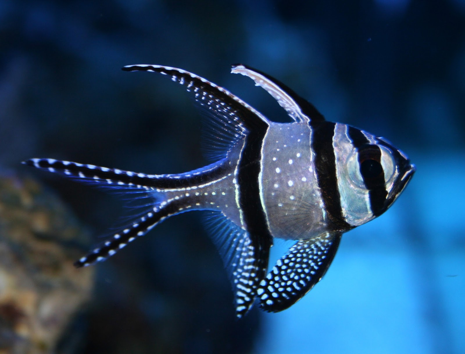 Banggai Cardinalfish Fishes World Hd Images Free Photos