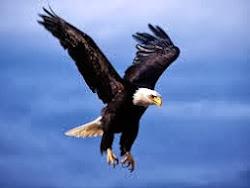 Águila real...