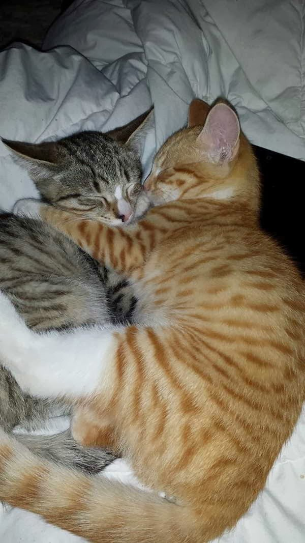 Funny cats - part 80 (40 pics + 10 gifs), kitten hug each other