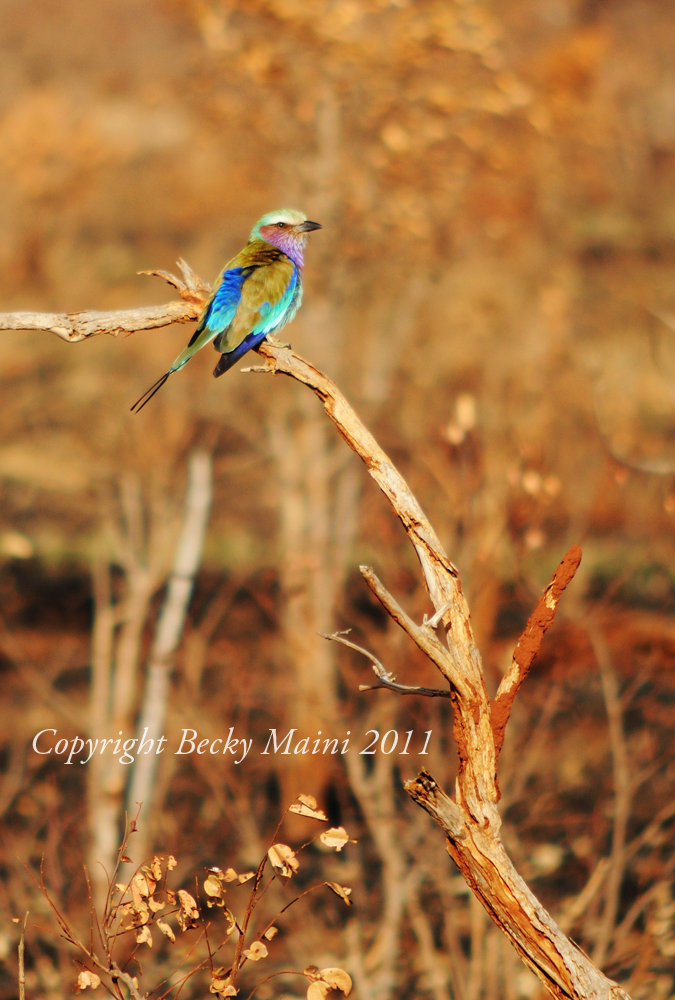 a study on the lilac breasted roller Lilac-breasted roller bookmarked bookmark solve this jigsaw puzzle later followed follow get notified of new comments share share with your friends report report .