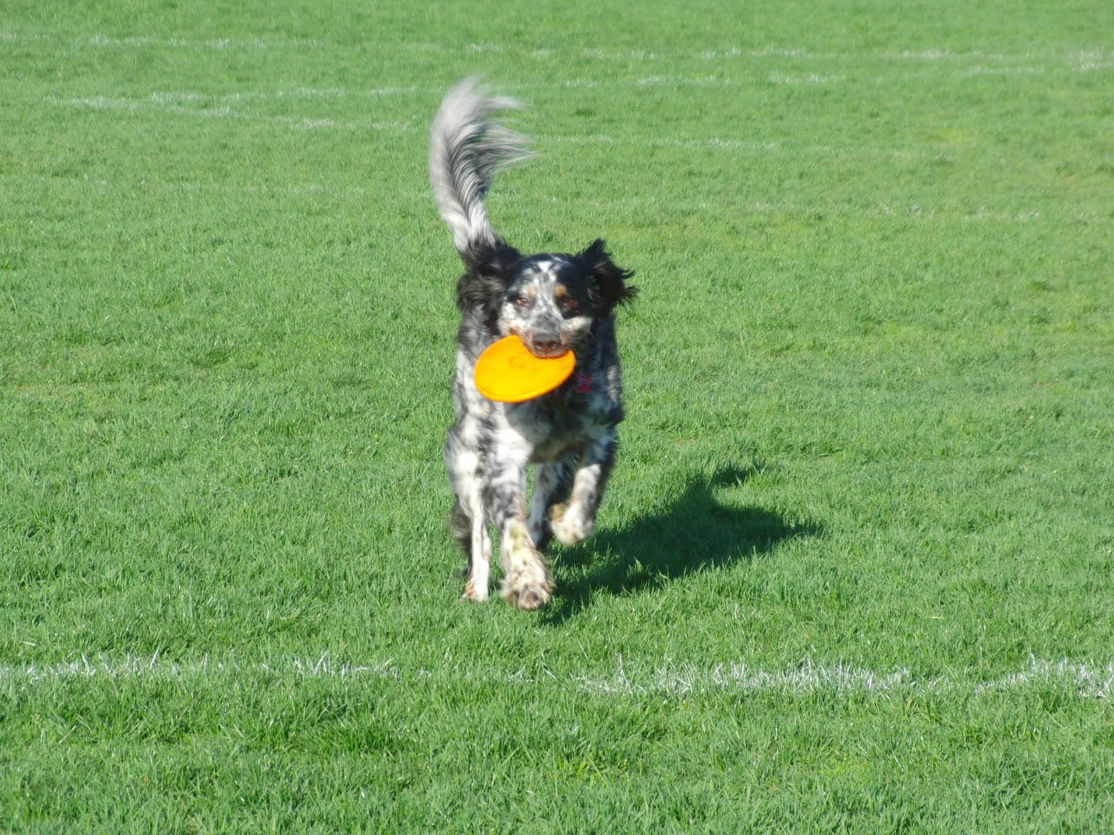 Displaying 20> Images For - Dog Catching Frisbee...