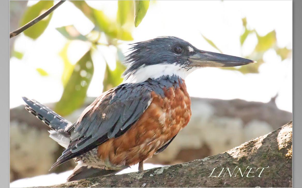 ヤマセミ.カワセミ類の館(Kingfisher)