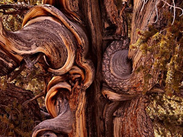 عينات '' لاقدم شجرة'' في العالم بالصور 12_bristlecone-close-up.img_assist_custom-600x449