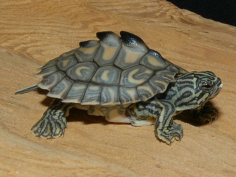 Pet Turtles Species This species is listed as
