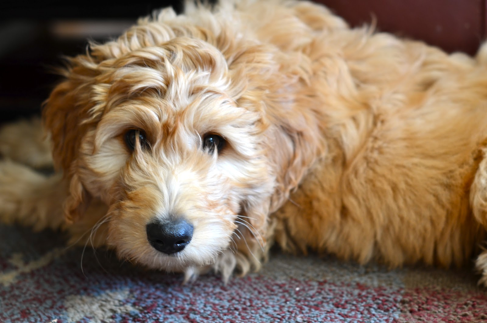 Murphy the Goldendoodle