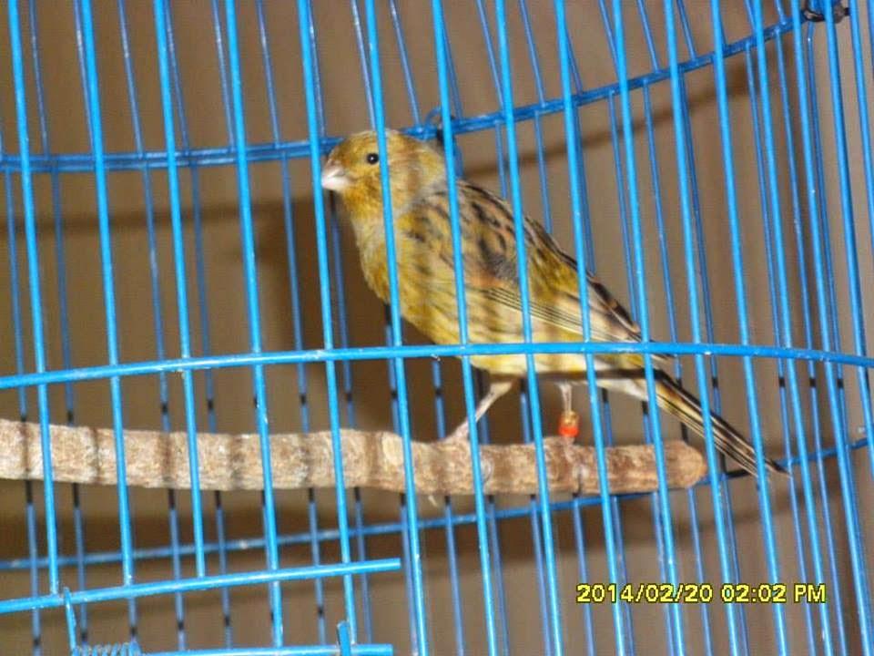burung cinta lovebird lakbet labet surga kenari