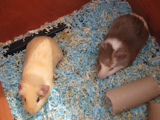 Guinea pigs 7 weeks old