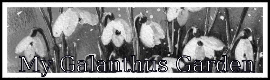 Galanthus