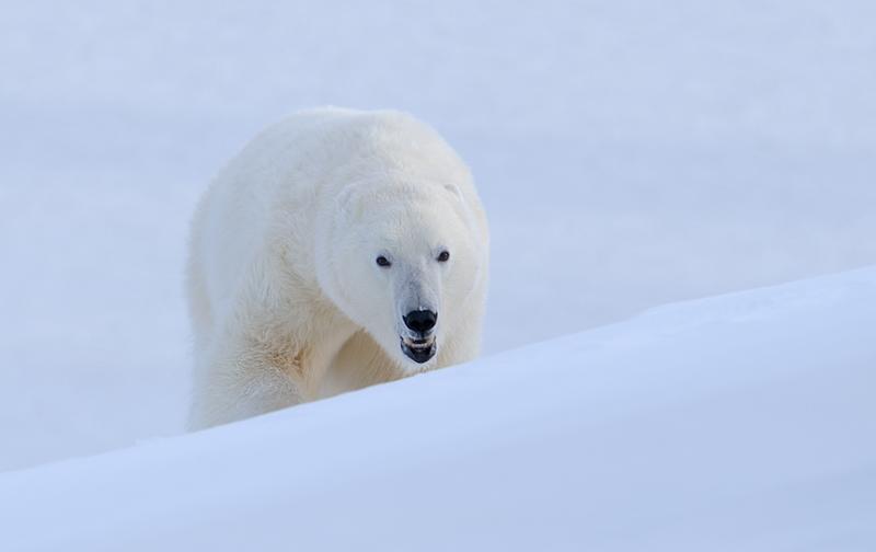 jääkaru, Polar bear Teravmäed Spitsbergen