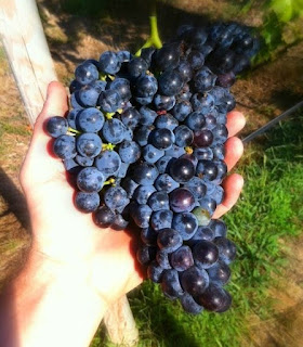Gascony Vineyards Certified Organic Chambourcin grapes