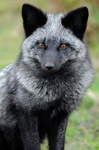 Belyaev Experiment: Aggressive Foxes - YouTube