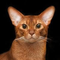 Red Abyssinian Cat for sale - Sorrel - Cinnamon
