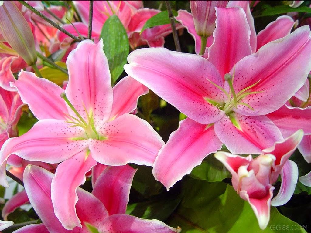 Gambar Bunga Lily Pink Topik Pedia