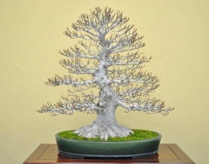 pruning bonsai