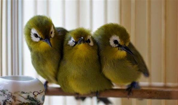 burung-pleci-jantan-betina