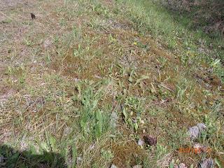 Morilles, Morchella elata, dans l'herbe.