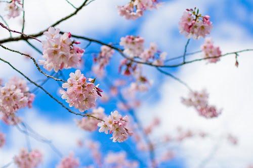 White Sakura in Tokyo, Japan, in Marissa Haque & Ikang Fawzi