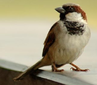 birds, sparrow, house sparrow, garden birds