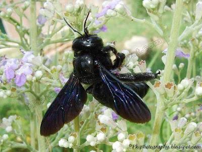 Carpenter Bee Picture
