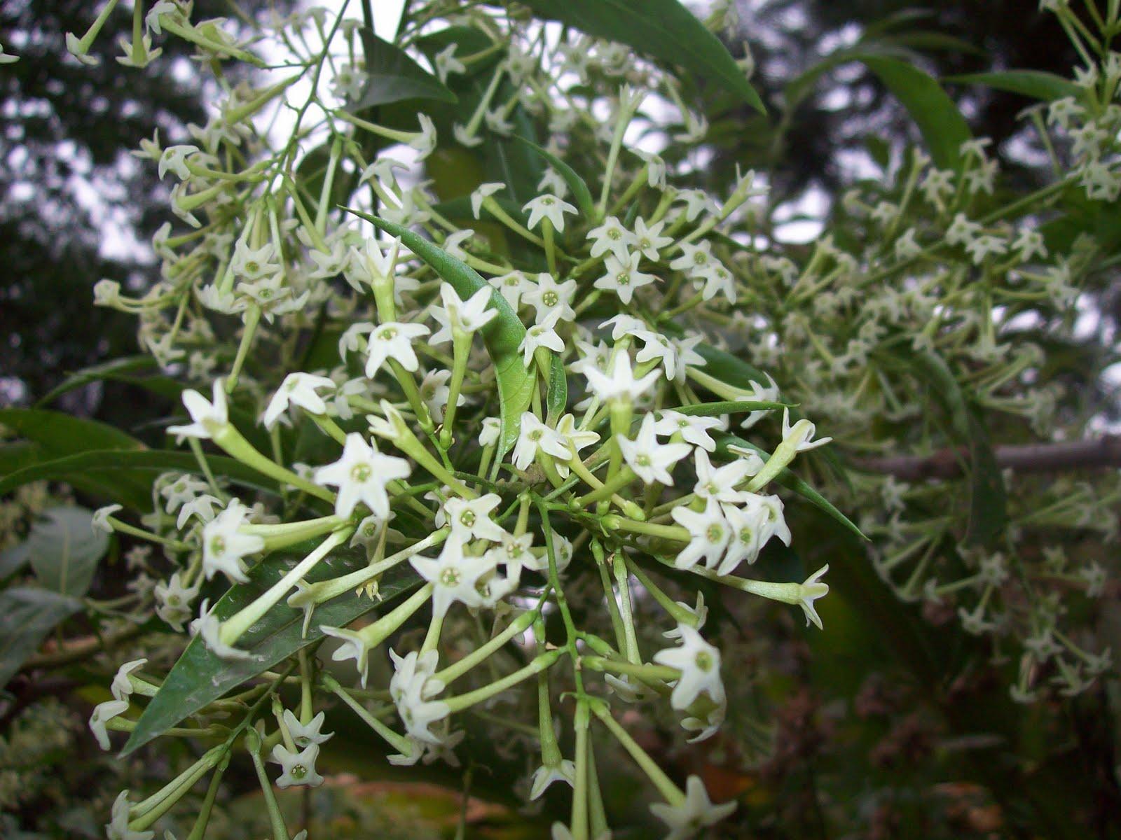 Gardentropics jasmine and pseudo jasmine jasmine and pseudo jasmine izmirmasajfo Image collections