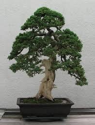 Cultivo f cil del bonsai como cuidar un bonsai de jun pero - Cultivo de bonsai ...