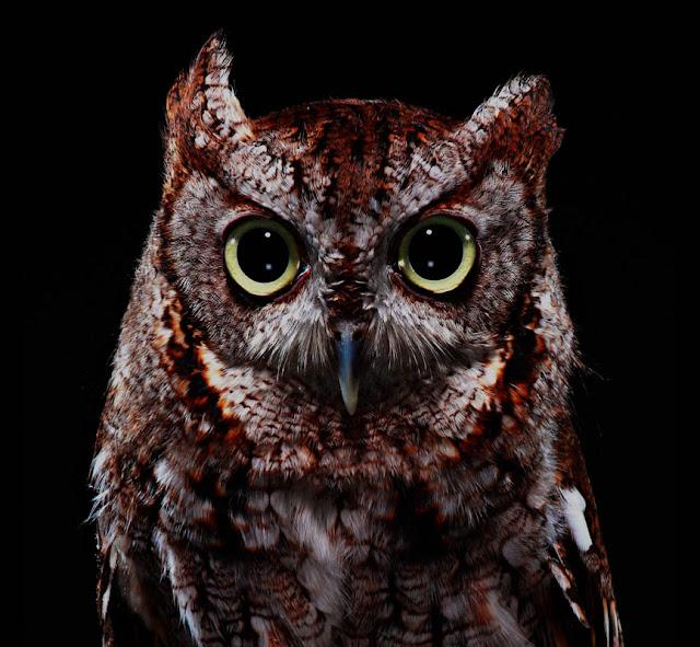 aves, supervivientes, Bob Croslin, fotografia, Grounded, Winged, Survivors, Florida, Gulf Coast, Screech Owl, Suncoast Seabird Sanctuary