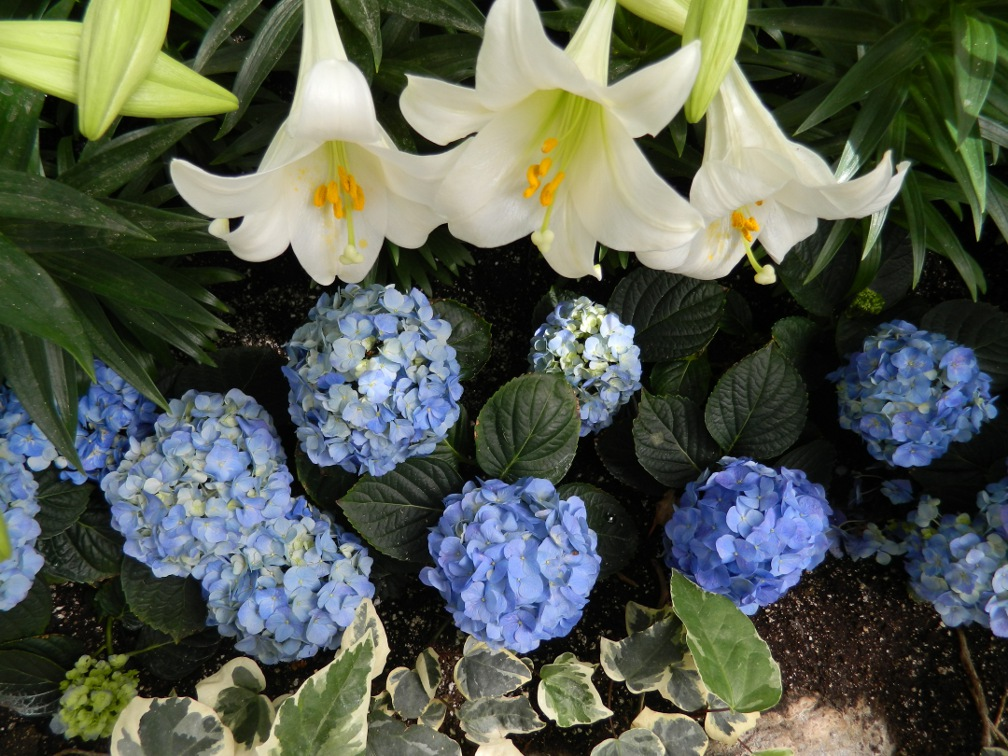 Allan Gardens Conservatory Easter Flower Show  white lillies blue hydrangeas by garden muses: a Toronto gardening blog