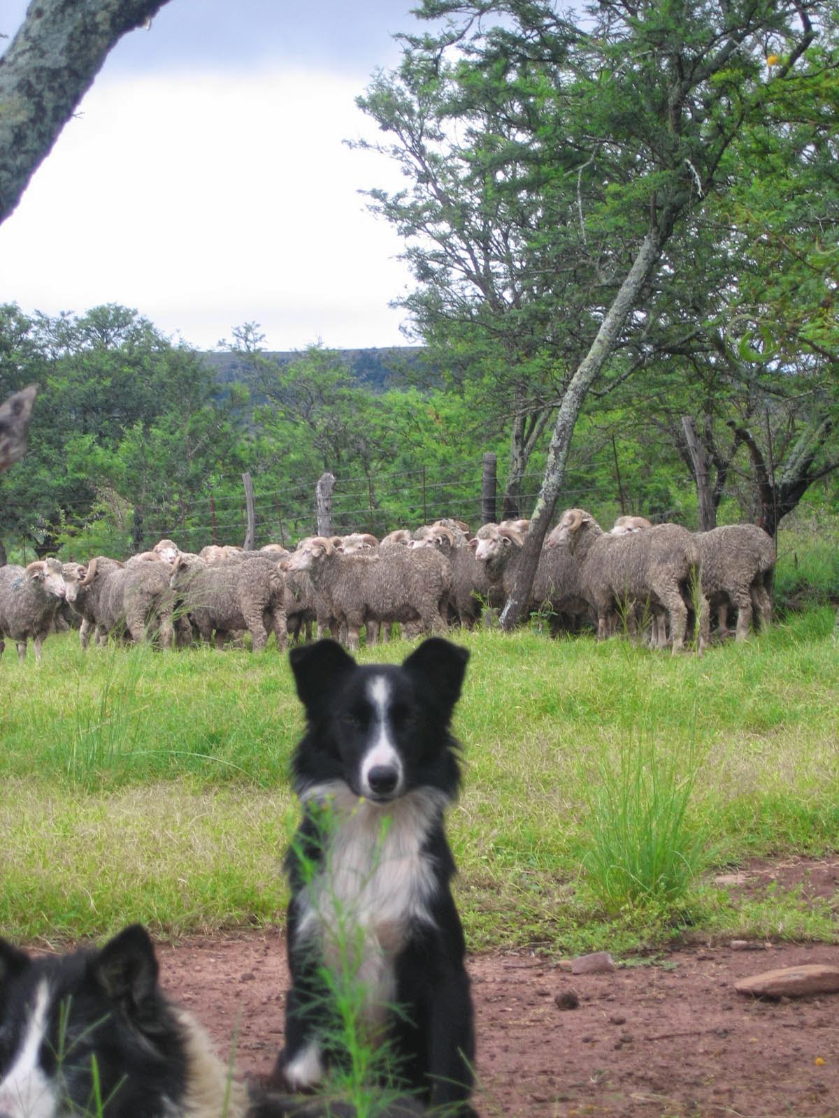 Awesome Sheepdogs Amass Farming Tips Amp Info