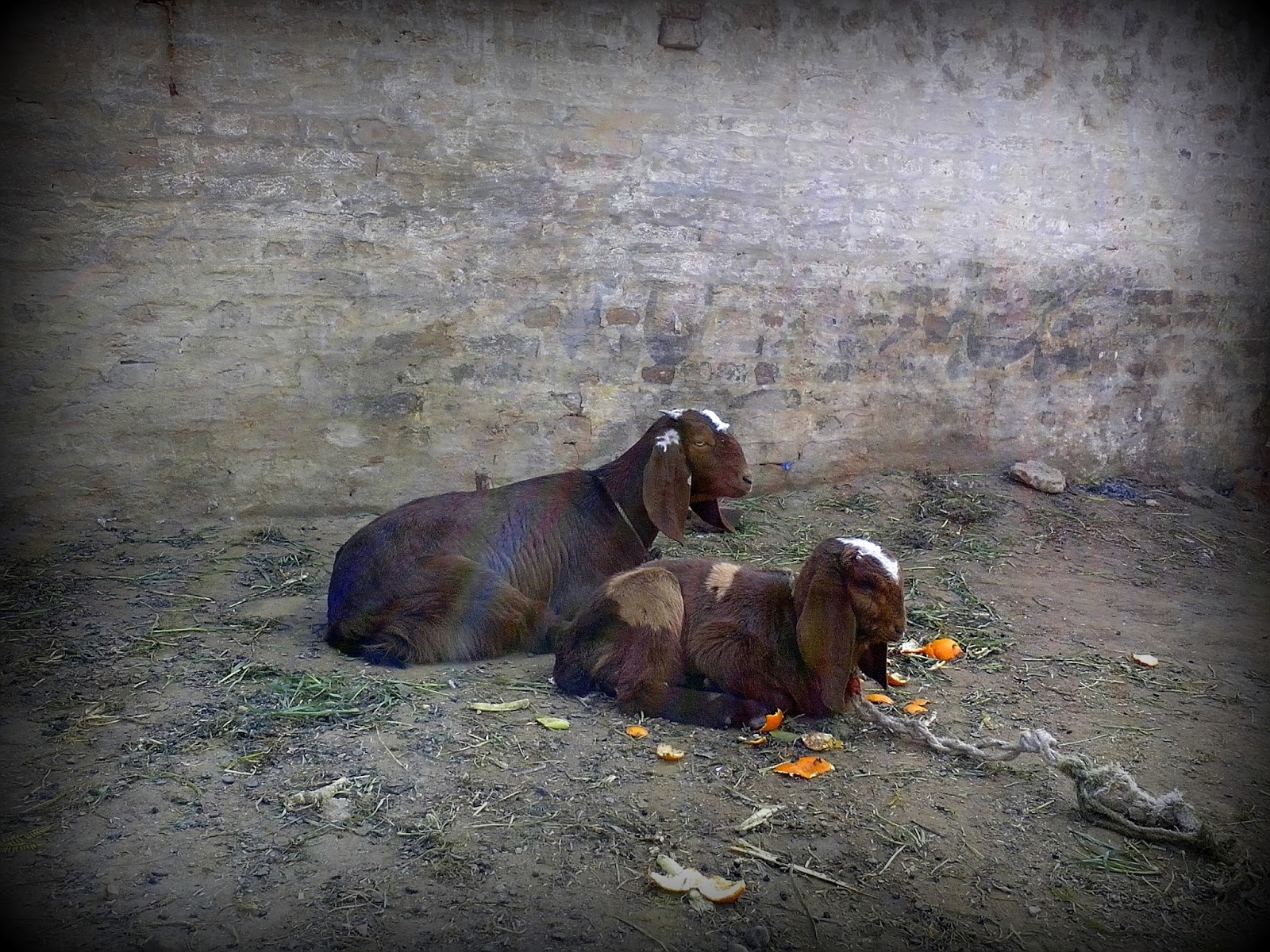 goat-and-son-pakistan